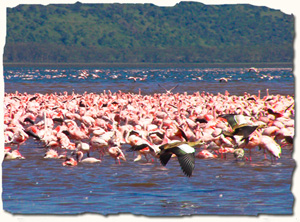 Lake Nakuru National Park is well-known for its huge pink flamingo population