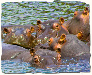 Queen Elizabeth National Park, hippos
