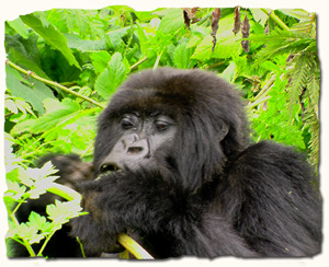 Rwanda, home of the mountain gorilla
