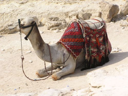 Camel on duty - local taxi waiting to take the travelling ladies for a ride ©Venus Adventures