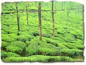 Wayanad, plantation tour