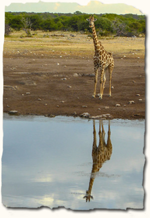 Giraffe beside Zambezi River