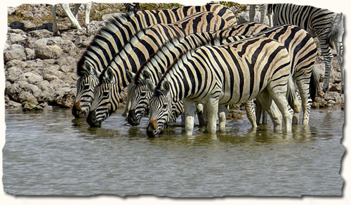 African Safari, zebra at water hole